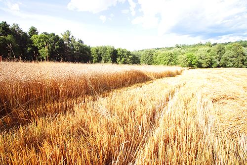 Wheat Field Redeemer 1 web